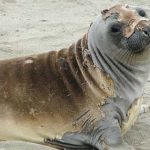 The catastrophic molting of elephant seals resembles the process of letting go of a failing hypothesis.